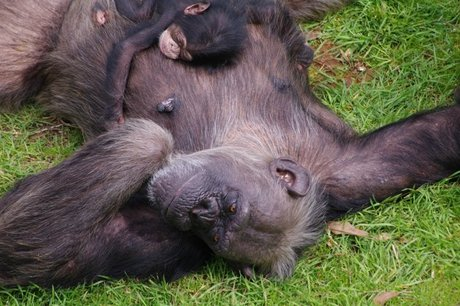 U.S. Chimpanzees Get Pregnant Despite Vasectomies